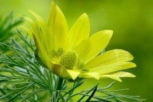 Адонис весенний (горицвет) - описание, целебные свойства, применение