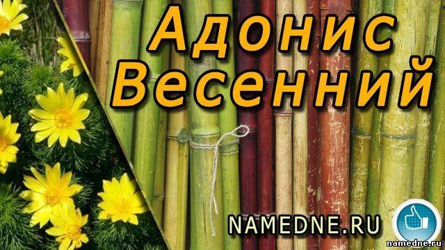 Адонис весенний и его лечебные свойства , применение , противопоказания