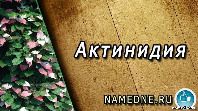 Actinidia - ljekovita svojstva