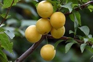 Šljive - recepti, džem, tkemali, crvene i žute šljive, trešnje šljive korisne osobine