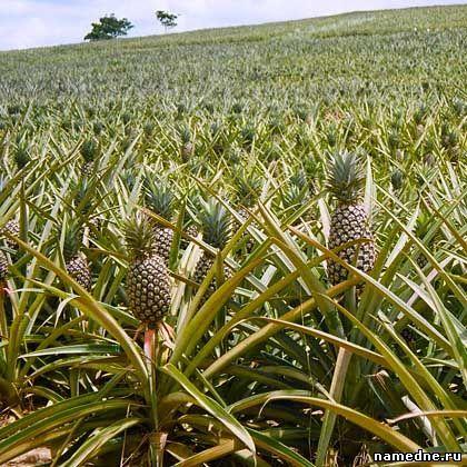 ananas ukusna svojstva