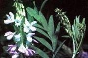 Angosturovoe stablo - opis korisnih svojstava, primjena