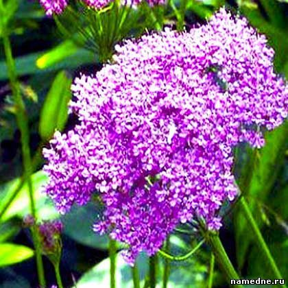 Целебные свойства трав и Лечение народными средствами