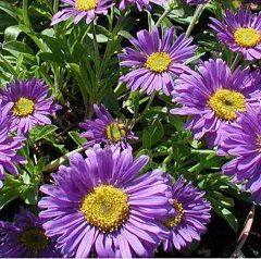 Астра альпийская - лечебное растение
