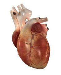 Атриовентрикулярная блокада – это нарушение в проводящей системе сердца