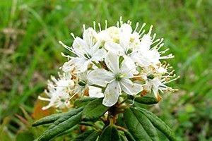 Багульник болотный - описание, полезные свойства, применение