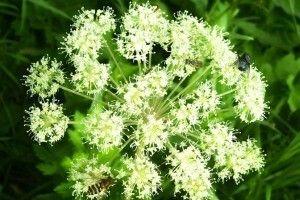 Angelica sylvestris - opis korisnih svojstava, primjena