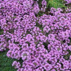 Душица - травянистое растение