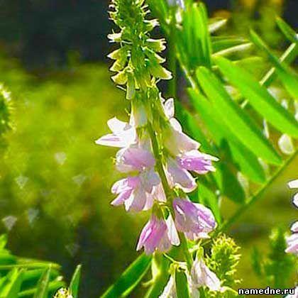 Lekovita svojstva bilja i narodne lekove tretman