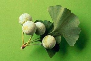 Ginkgo biloba (biljka) - opis, ljekovita svojstva, upotreba