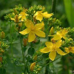 Ekstrakt biljke kantarion - Hypericum aktivne supstance