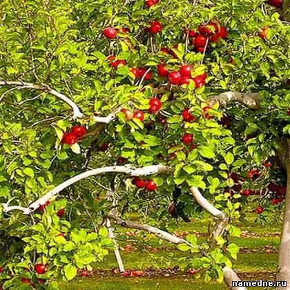 Jabuka - ljekovita svojstva