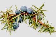 Juniper eterično ulje, osobine i primena