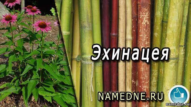 Echinacea - ljekovita svojstva