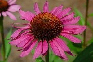 Echinacea purpurea - opis korisnih svojstava, primjena