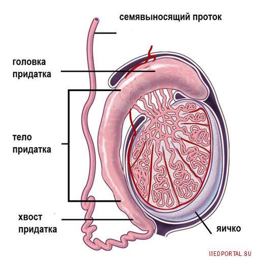 epididimit-simptomy-i-lechenie-epididimita-xronicheskij-epididimit