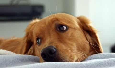 Как определить наличие меланомы у собак, и лечится ли она