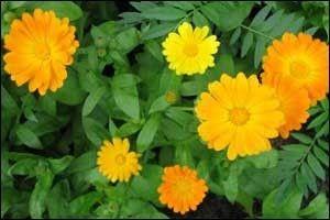 Calendula officinalis - opis korisnih svojstava, primjena