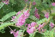 Sweetvetch (Hedysarum čaj, crveno korijen) - opis korisnih svojstava, upotreba