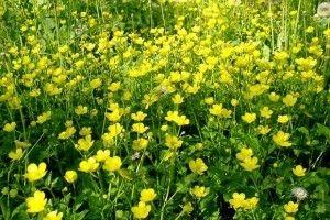 Ranunculus Acris - opis, ljekovita svojstva, upotreba