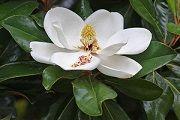 Magnolia - opis korisnih svojstava, primjena