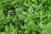 Mažuran (rastuće, začini) - opis korisnih svojstava, primjena