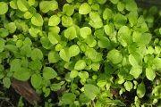 Мокрица (трава) - описание, полезные свойства, применение
