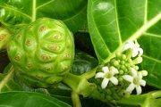 Моринда лимонолистная – описание, полезные свойства, применение
