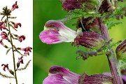 Мытник (болотный) - описание, полезные свойства, применение