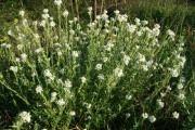 Пастушья сумка (трава) - описание, полезные свойства, применение