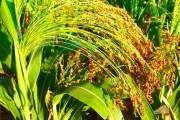 Просо (растение) - описание, полезные свойства, применение