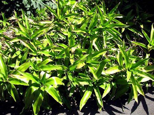 лекарственные формы готовят, используя только свежие листья