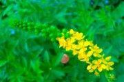 Репешок обыкновенный трава - описание, полезные свойства, применение
