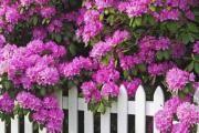 Rhododendron (sadnja i održavanje) - opis korisnih svojstava, primjena