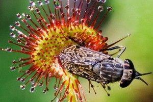 Drosera rotundifolia - opis korisnih svojstava, primjena