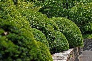 Самшит вечнозеленый (посадка и уход) - описание, полезные свойства, применение