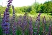 Salvia: terapeutska svojstva i kontraindikacije
