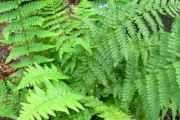 Dryopteris (biljka): terapeutska svojstva i primjena
