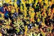 Šikša ili crna crowberry (trava): korisna svojstva