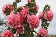 Шток-роза – описание, полезные свойства, применение