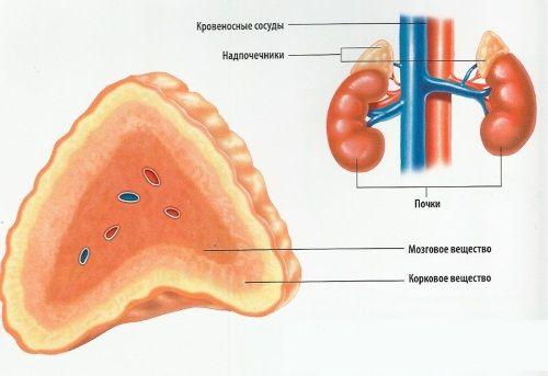 suprarenale - producerea de hormoni