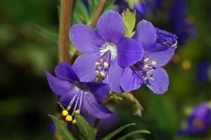 Синюха голубая (трава, корень) - описание, применение, лечебные свойства