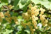Смородина белая - польза и вред белой смородины