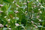Спорыш (трава) - описание, полезные свойства, применение