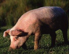Свиньи - причина заболевания тениоза у людей
