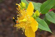 Травы для повышения иммунитета