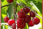 Cherry grm - opis korisnih svojstava, primjena