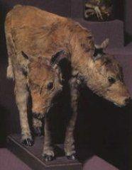 Врожденные пороки развития у животных