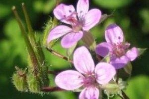 Vilino (biljka) - opis, ljekovita svojstva, upotreba