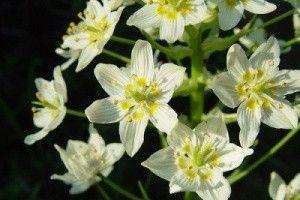 Zigadenus - descriere, proprietăți medicinale, utilizarea